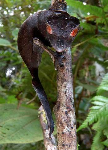 Диявольський листоподібний гекон