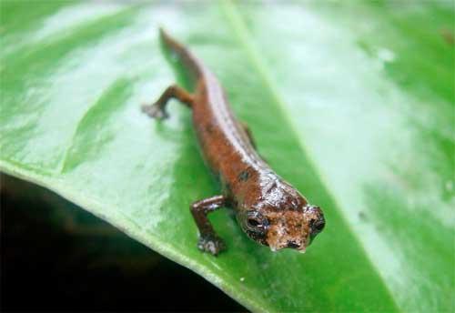 «Саламандра-прибулець»