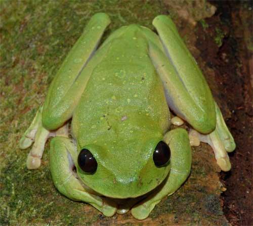 Деревна жаба