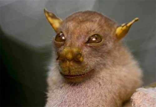 Фруктовий кажан з тубоподібним носом