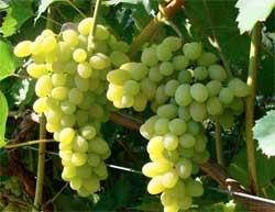 Про користь винограду