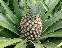 Як виростити ананас з верхівки в домашніх умовах